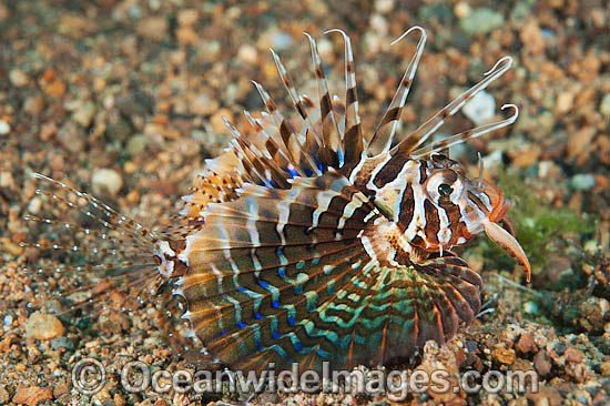 Gurnard Lionfish (Parapterois heterura). Found throughout the Indo-West Pacific, but not common. Photo taken off Anilao, Philippines. Within the Coral Triangle.