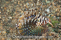 Gurnard Lionfish photo