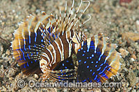 Gurnard Lionfish Parapterois heterura photo
