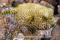 Starry Pufferfish Photo - Gary Bell
