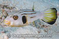 Narrow-lined Pufferfish Arothron manilensis Photo - Gary Bell