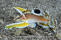 Longfin Waspfish Apistus carinatus Photo - Gary Bell
