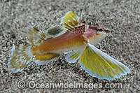 Longfin Waspfish photo