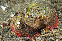 False Stonefish photo