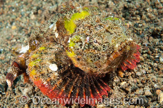 False Stonefish (Scorpaenopsis diabolus), misspelling (Scorpaenopsis diabola). Often mistaken for a Stonefish, due to the rock-like appearance of this species. Found throughout the Indo-West Pacific, including the Great Barrier Reef, Queensland, Australia Photo - Gary Bell