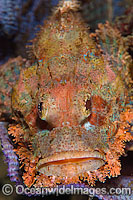 Small-scale Scorpionfish Photo - Gary Bell