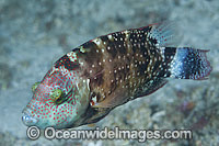 White-dotted Maori Wrasse photo