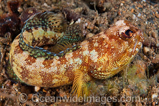 Variegated Jawfish (Opistognathus solorensis). Found throughout Indonesia, also Philippines. Photo taken off Anilao, Philippines. Within the Coral Triangle. Photo - Gary Bell