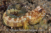 Jawfish Opistognathus solorensis Photo - Gary Bell