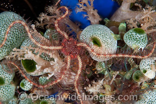 Brittle Star (Ophiothrix sp.) - on Sea Tunicates. Found throughout the Indo-Pacific. Photo taken off Anilao, Philippines. Within the Coral Triangle.