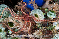 Brittle Star on Sea Tunicates photo