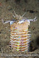 Bobbit Worm Photo - Gary Bell