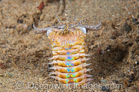Bobbit Worm (Eunice aphroditois). Also known as Predatory Polychaete Worm. Found protruding from sand and muddy sea floor throughout the Indo-Pacific, but not common. Photo taken off Anilao, Philippines. Within the Coral Triangle. Photo - Gary Bell