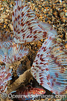 Tube Worm Sabellastarte sp. Photo - Gary Bell