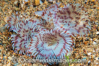 Feather Duster Tube Worm Photo - Gary Bell