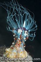 Solitary Anemone Alicia rhadina Photo - Gary Bell