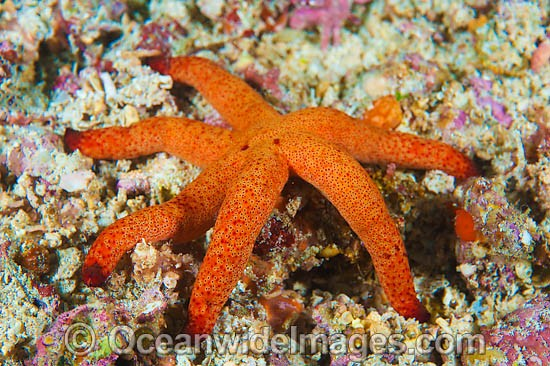 Sea Star (Thromidia catalai). Found throughout the Indo Pacific. Photo taken off Anilao, Philippines. Within the Coral Triangle.