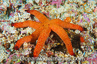 Sea Star Thromidia catalai Photo - Gary Bell