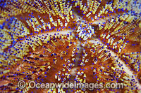 Fire Urchin spines photo