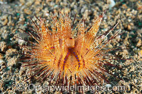Fire Urchin (Astropyga radiata). Also known as Red Urchin and False Fire Urchin. Found throughout the Indo Pacific. Photo taken off Anilao, Philippines. Within the Coral Triangle. Photo - Gary Bell