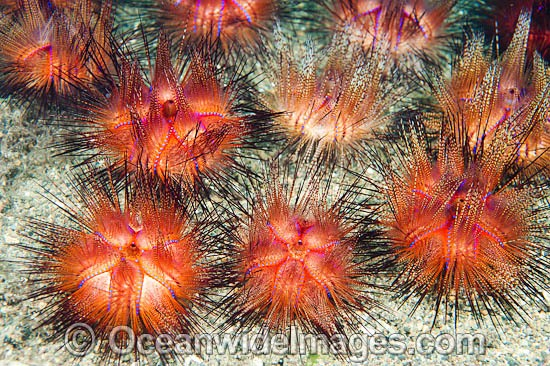 Fire Urchin (Astropyga radiata). Also known as Red Urchin and False Fire Urchin. Found throughout the Indo Pacific. Photo taken off Anilao, Philippines. Within the Coral Triangle.
