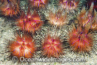 Fire Urchin photo