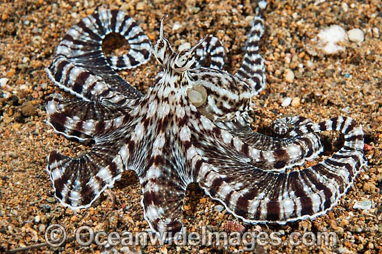 Mimic Octopus (Thaumoctopus mimicus). This octopus is a master of cryptic camouflage, often mimicking marine animals. Found throughout the Indo-West Pacific. Photo taken off Anilao, Philippines. Within the Coral Triangle.