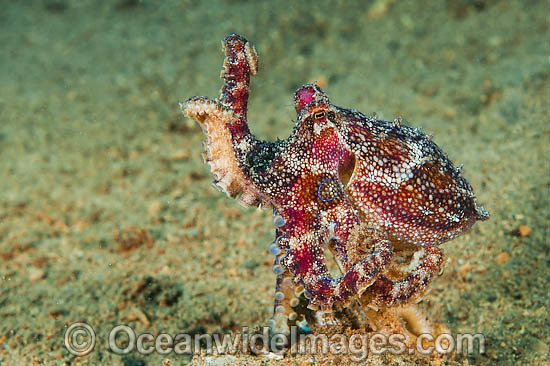 Poison Ocellate Octopus photo