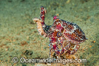 Poison Ocellate Octopus Photo - Gary Bell