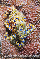 Greater Blue-ringed Octopus Hapalochlaena lunulata Photo - Gary Bell