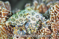 Greater Blue-ringed Octopus Photo - Gary Bell