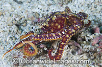 Mosaic Octopus Abdopus abaculus Photo - Gary Bell