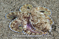 Veined Octopus Octopus marginatus Photo - Gary Bell