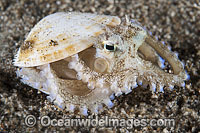 Veined Octopus image