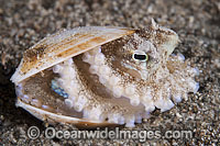 Veined Octopus Octopus marginatus image