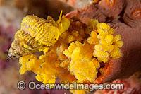 Wentletrap Snail with eggs photo