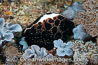 Egg Cowrie feeding on coral photo