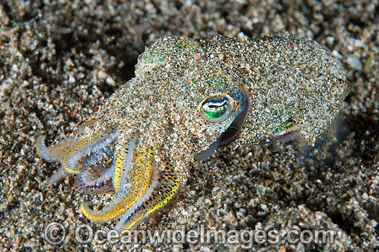 Bobtail Squid (Euprymna berryi). Also known as Dumpling Squid. Photo taken off Anilao, Philippines. Within the Coral Triangle. Photo - Gary Bell