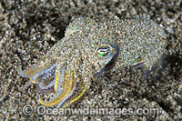 Bobtail Squid Euprymna berryi Photo - Gary Bell