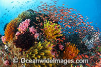 Lionfish and Great Barrier Reef photo