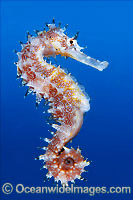 Thorny Seahorse Hippocampus histrix Photo - Gary Bell