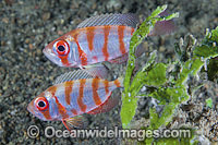 Silver Bigeye Priacanthus blochii photo