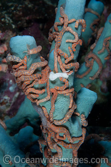 Social Holothurian, or Sea Cucumber, (Synaptula sp.), gathered on a Tube Sea Sponge. Photo taken off Anilao, Philippines. Within the Coral Triangle.