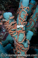 Holothurian on Sea Sponge Photo - Gary Bell