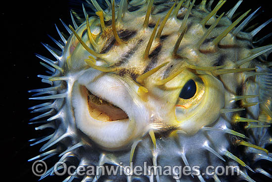 Porcupinefish photo