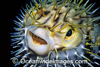 Porcupinefish Photo - Gary Bell