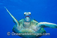 Green Sea Turtle eating Jellyfish image