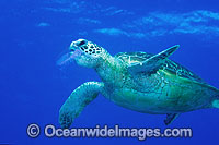 Green Sea Turtle eating Jellyfish Photo - Gary Bell