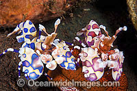 Pink and Blue Harlequin Shrimp feeding Photo - Gary Bell