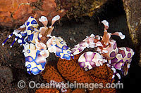 Two coloured Harlequin Shrimp feeding Photo - Gary Bell